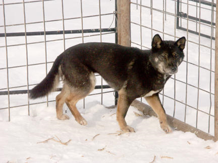 Young Black & Tan Phase New Guinea Singing Dog, from WikmediaCommons
