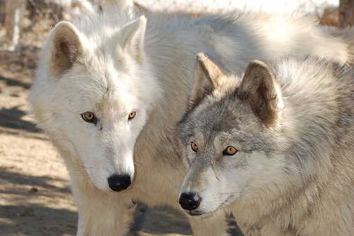 characteristics of wolves The physical characteristics of a grey wolf is that males are bigger then females.