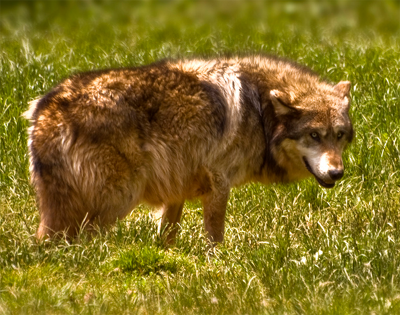 Caspian sea wolf canis lupus cubanensis