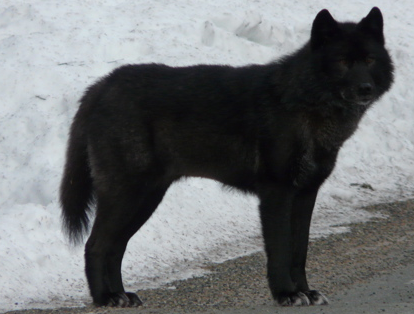 Alexander Archipelago Wolf (Canis lupus ligoni) — 'Souls Wiki
