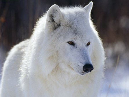 About the Baffin Island Wolf Cl_manningi