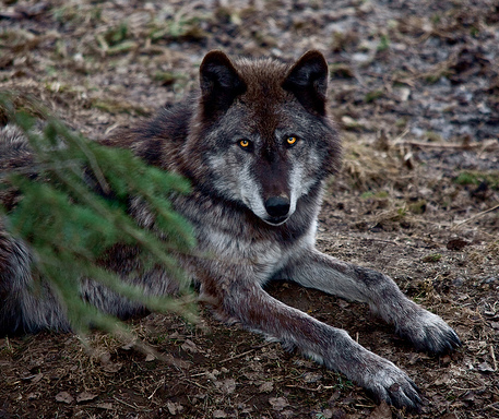 WOLVES: Subspecies Cl_pambasileus