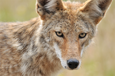 San Pedro Martir Coyote, mattknoth@Flickr