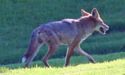 San Pedro Martir Coyote, da100fotos@Flickr