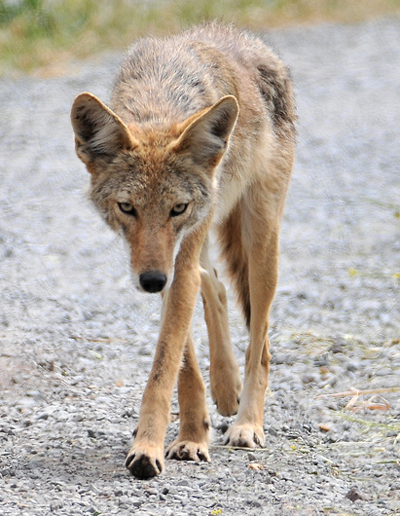 Honduras Coyote, mattknoth@Flickr