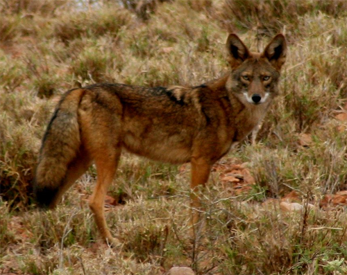 Durango Coyote; jegomezr@Flickr