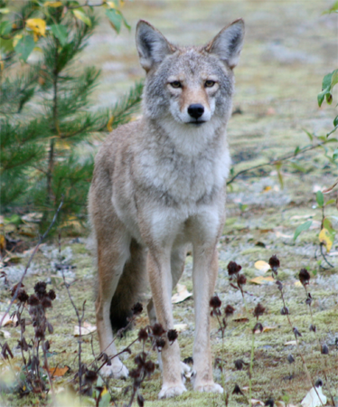 Northern Coyote, rustybadger@Flickr
