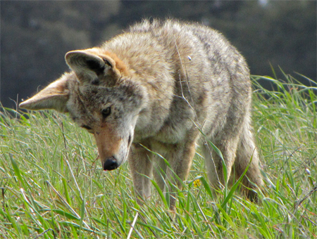 Tiburon Island Coyote, randomtruth@Flickr