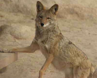 Tiburon Island Coyote, rikkefriisdam@Flickr