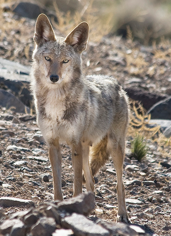 Mountain Coyote in Western Nevada; from lacomj@Flickr