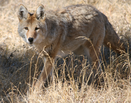 Mountain Coyote in Yellowstone; from dapperscoo@Flickr