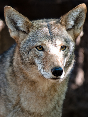 Lower Rio Grande Valley Coyote in Texas, from TXZeiss@Flickr
