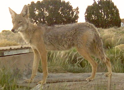 Lower Rio Grande Valley Coyote in New Mexico, from stuartwildlife@Flickr