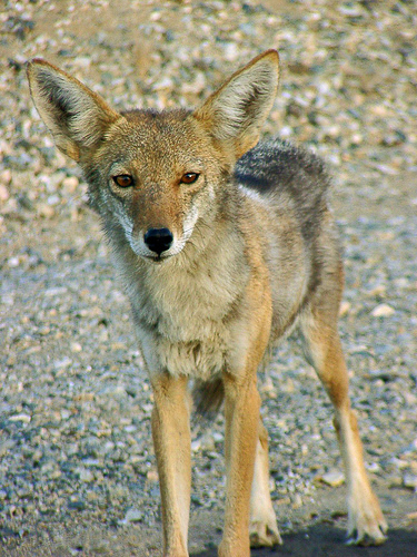 California Valley Coyote, taken in Joshua Tree National Park. From paraflyer@Flickr