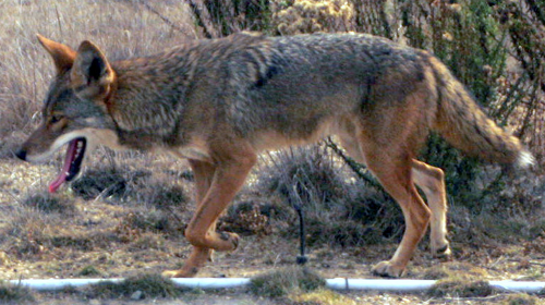 Peninsula Coyote; elpicoso@Flickr