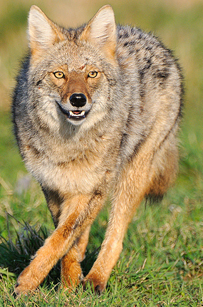 Northeastern Coyote, naathas@Flickr