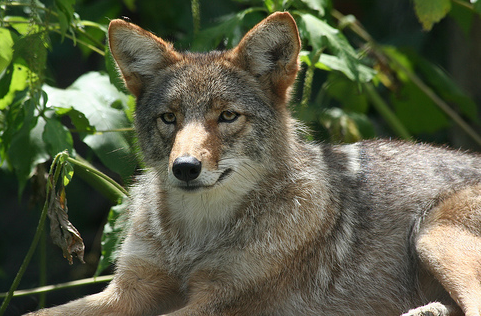 Northeastern Coyote, Ber'Zophus@Flickr