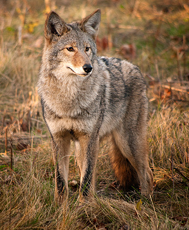 Northeastern Coyote, ensh@Flickr
