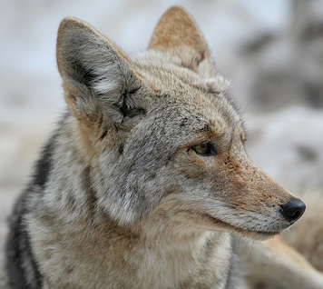 Colima Coyote; kbovard@Flickr