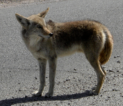 Colima Coyote; asplund@Flickr