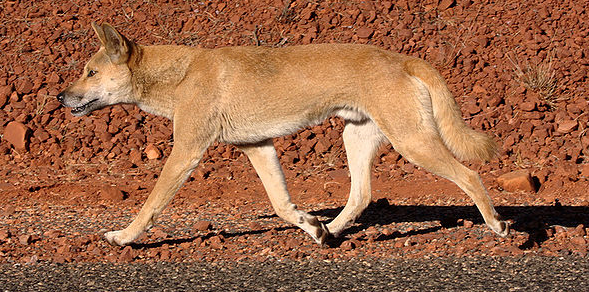 Dingo, from Wikimedia Commons