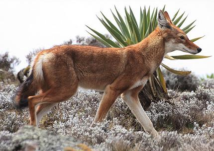 Ethiopian Wolf, Amalfia@Flickr