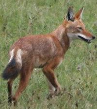 Ethiopian Wolf, Wikimedia Commons