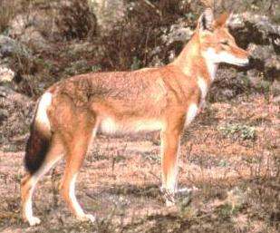 Ethiopian Wolf, Canids.org/Claudio Sillero