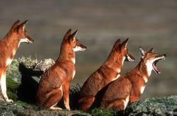 Ethiopian Wolf, Bornfree.org