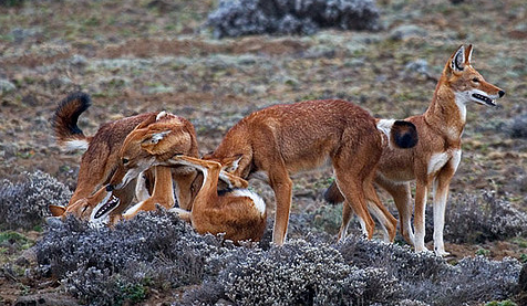 Ethiopian Wolf, afromemy@Flickr