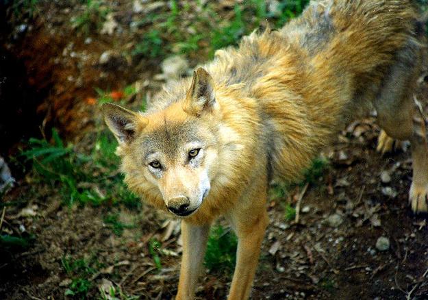 Himalayan Wolf, sir_watkyn@Flickr