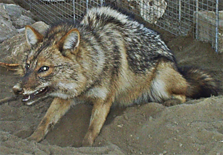 Common Jackal, Armed Forces Pest Management Board