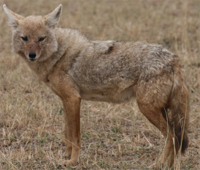 Serengeti Jackal, Wikimedia Commons