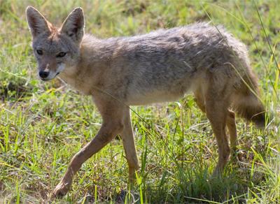 Serengeti Jackal, paulmannix@Flickr