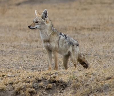 Serengeti Jackal, stignygaard@Flickr