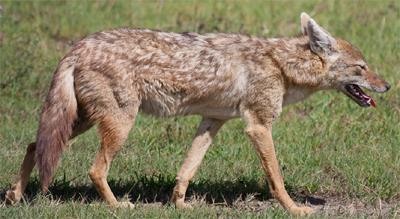 Serengeti Jackal, brianscott@Flickr