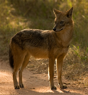 Indian Jackal, the_mask@Flickr