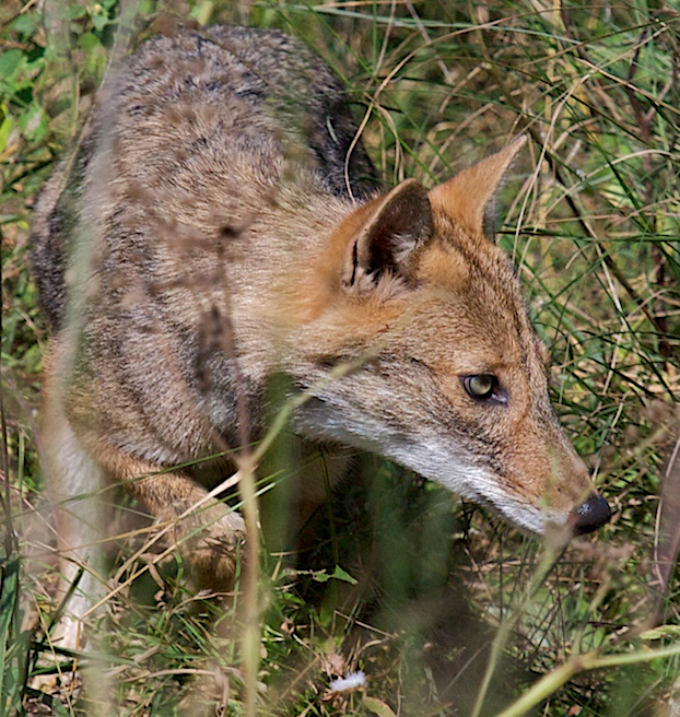 Indian Jackal, nishith@Flickr