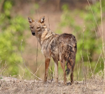 Indian Jackal, ianduffy@Flickr