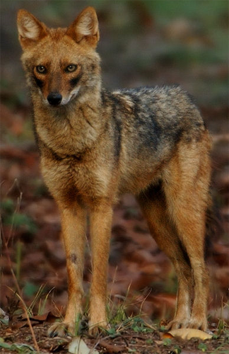 Indian Jackal, tariquesani@Flickr