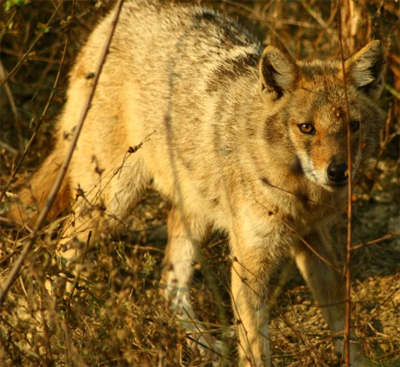 Indian Jackal, dharmesh84@Flickr