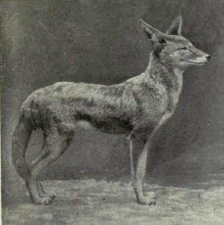 European Jackal, Wikimedia Commons
