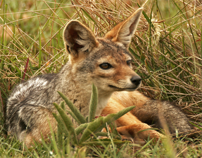 Cape Jackal,  Vearl Brown@Flickr