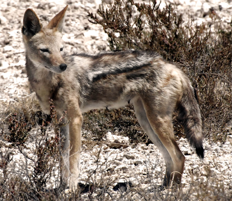 Cape Jackal, vince42@Flickr