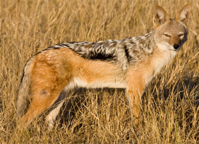 Cape Jackal, brianscott@Flickr
