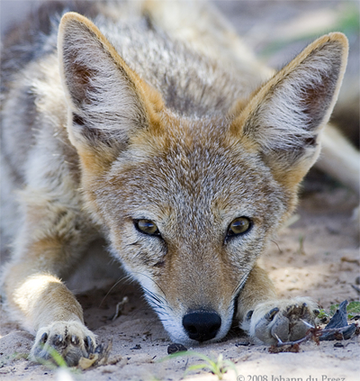 Cape Jackal, jo_mur@Flickr