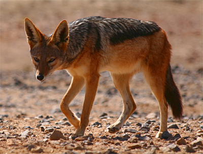 Cape Jackal, scottliddle@Flickr