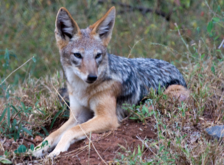 Cape Jackal, guyleech@Flickr
