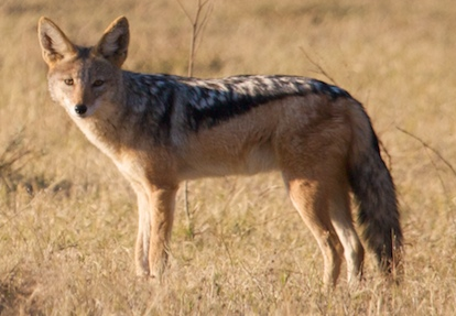 Cape Jackal, ewanrayment@Flickr