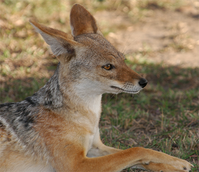 Cape Jackal, fredericsalein@Flickr